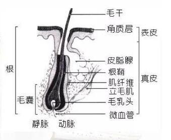 毛发的结构