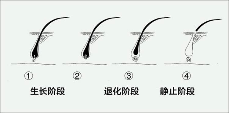 美发师必须了解的美发生长知识